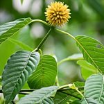 FDA Issues Warning on Herbal Pain Reliever Kratom